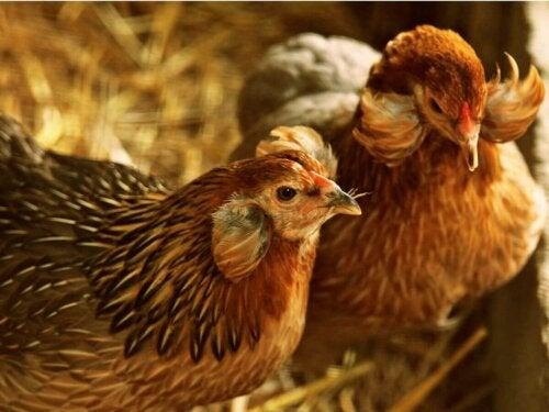 Illustration af adfærd hos høns