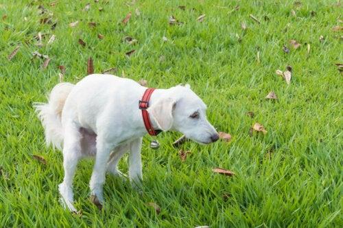 Hund har afføring på græs