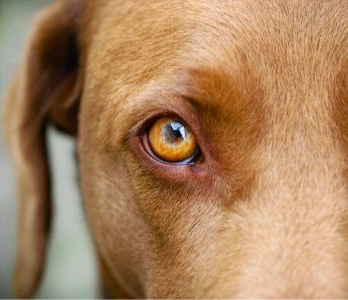 Nærbillede af hunds øje