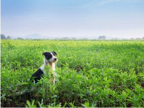 Mucuchies hunde: Alt om denne race
