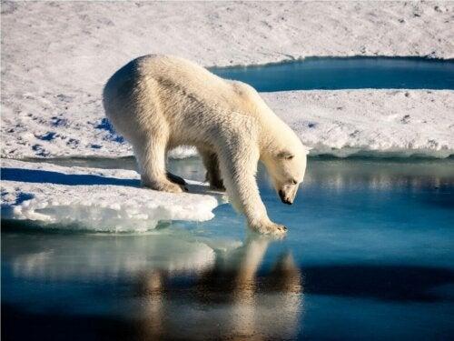 Isbjørn på isflage