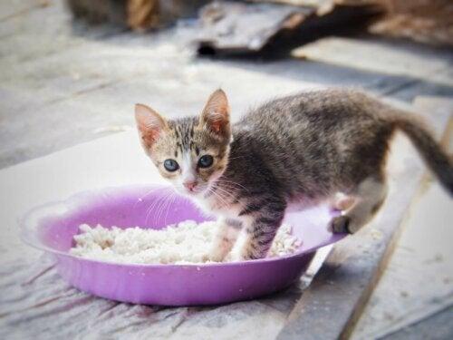 Killing i skål med ris, men kan katte spise ris?