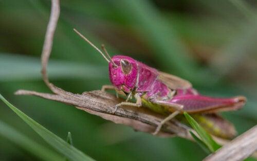 Eksempel på lyserøde græshopper