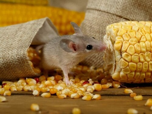 Mus er på listen over pattedyr med de mest udviklede sanser, som her ses med med majs