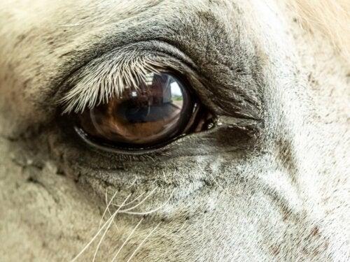 Grøn stær hos heste: Årsager, symptomer og behandling