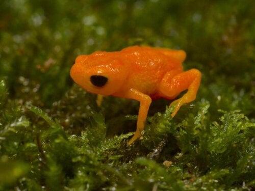En orange frø