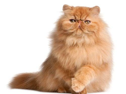 Eksempel på orange katteracer
