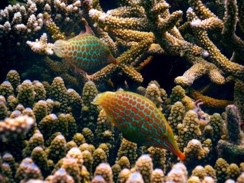 En orangeplettet filfisk