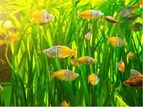 Regnbuefisk i akvarie