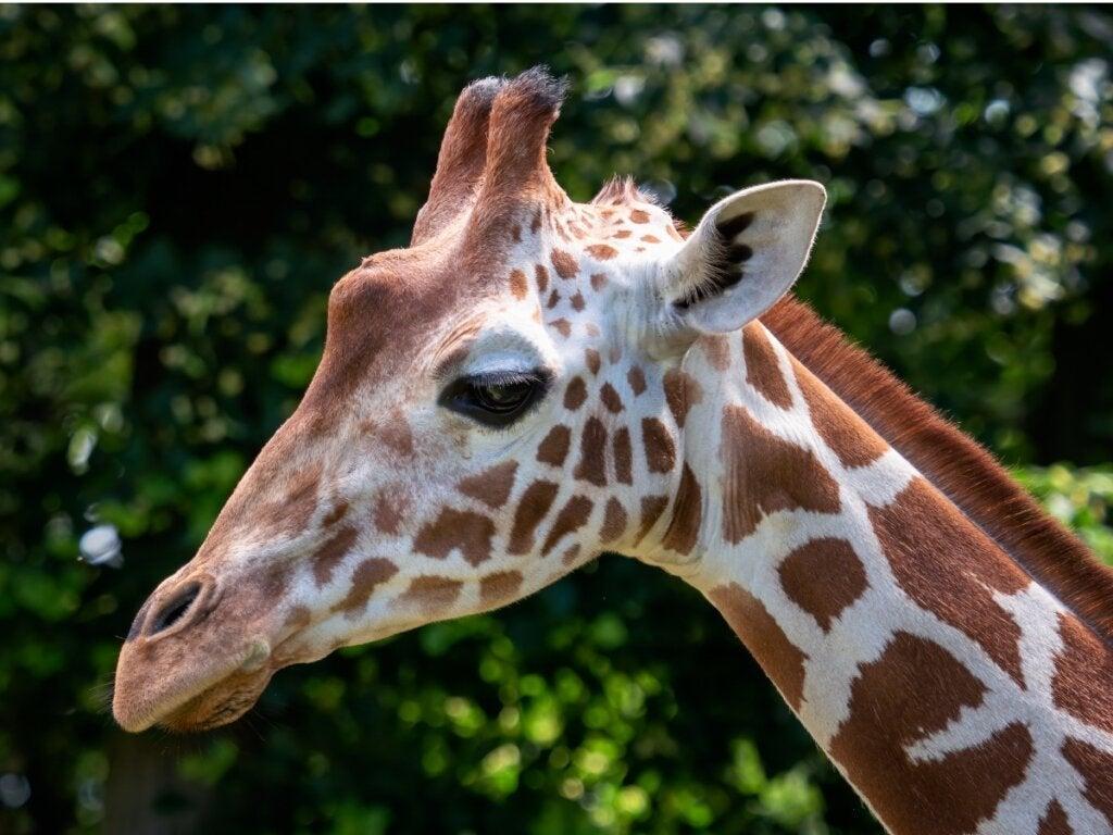 Somalisk giraf: Habitat og egenskaber