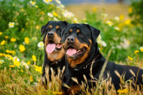 To rottweilere