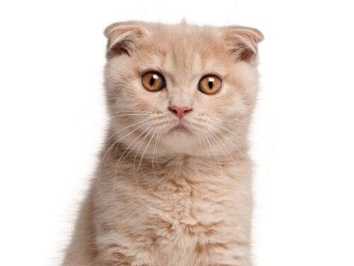 Scottish fold er eksempel på orange katteracer