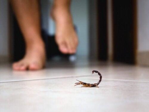 En skorpion på gulv, hvor person går, kan føre til skorpionstik