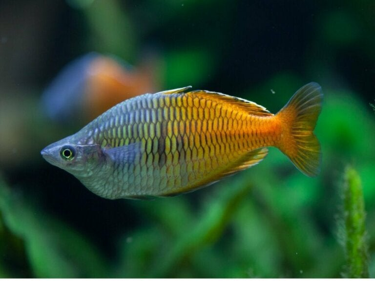 Boesemans regnbuefisk: Karaktertræk og pleje