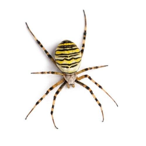 Eksempel på tigeredderkopper
