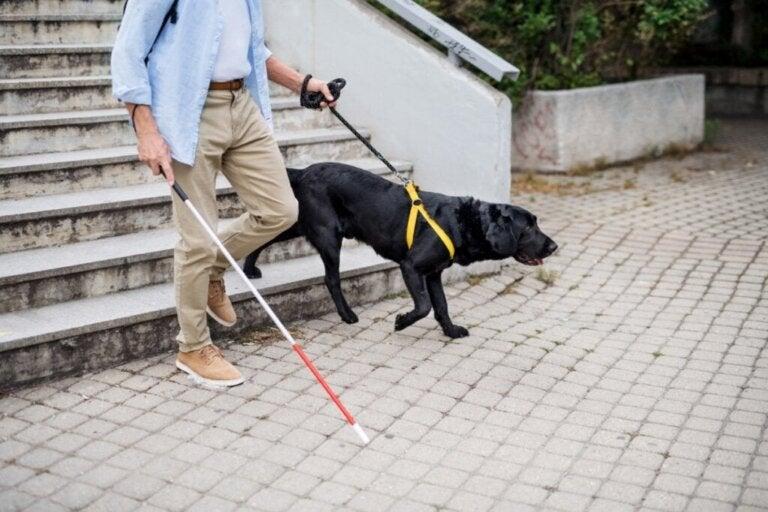 Træning af førerhunde: Sådan udføres det