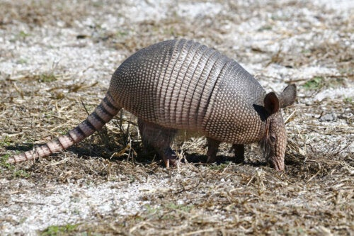 Der er mange spændende informationer om bæltedyr