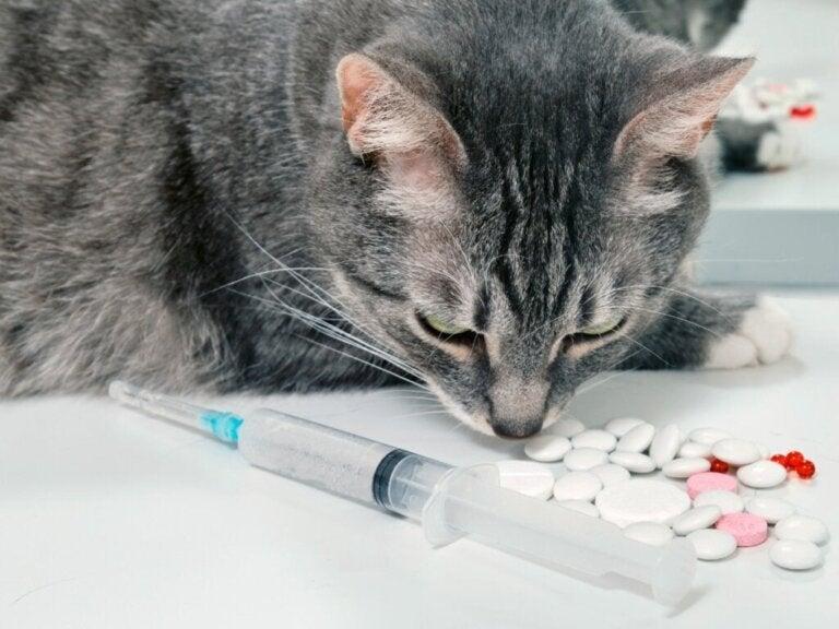 Cefalexin til katte: Anvendelser og bivirkninger