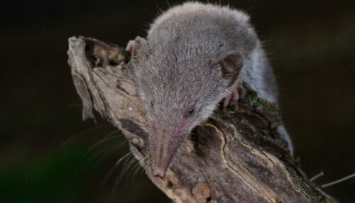 Dværgspidsmusen er overraskende nok et af pattedyrene med den største appetit