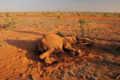 Elefant er offer for jagt grundet sine stødtænder