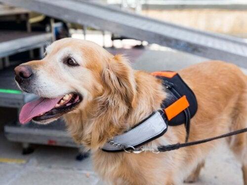 Golden retriever er førerhund