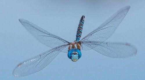 Smuk blå guldsmed