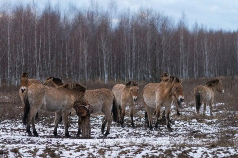 Hestene fra Tjernobyl: Hvordan overlever de?