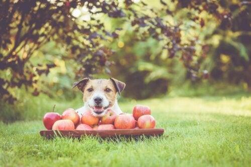 Hund med en masse æbler