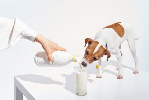 Ved du, om hunde kan drikke mælk?