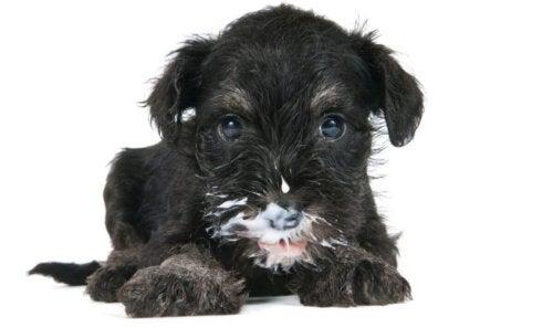 Eksempel på, at hunde kan drikke mælk, da denne hund har mælk på snuden