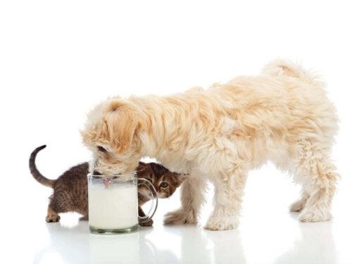 Eksempel på, at hunde kan drikke mælk