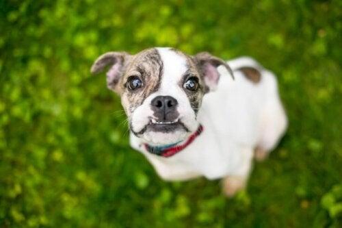 Hund med tandfejl