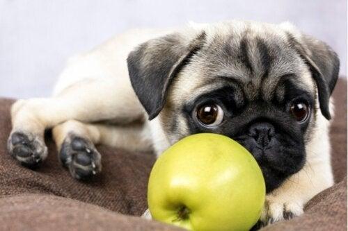 Ved du, om hunde kan spise æbler?