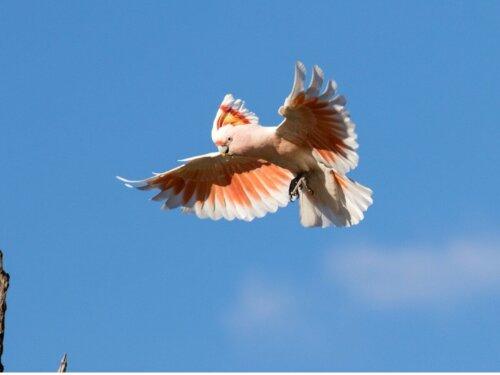 Inkakakadu flyver
