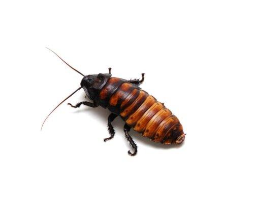 En kakerlak