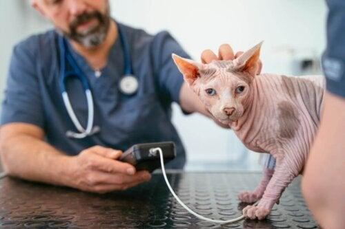 Dyrlæge tjekker for smerter hos katte