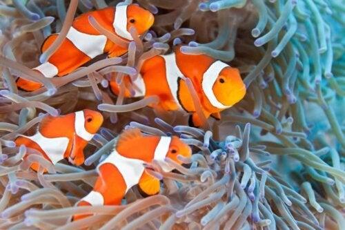 Klovnfisk i anemone