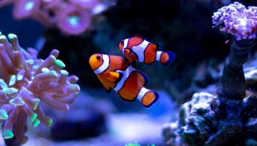 Klovnfisk er eksempler på besynderlige parringstyper