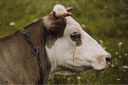 En ko på græs