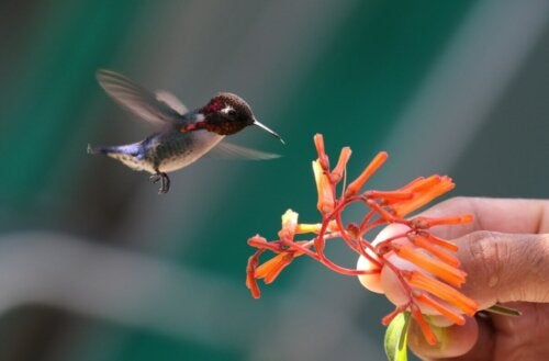 Kolibri flyver hen til blomst