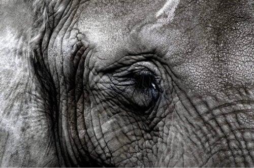 Nærbillede af en elefant