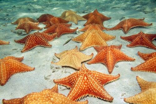Orange søstjerner på havbund