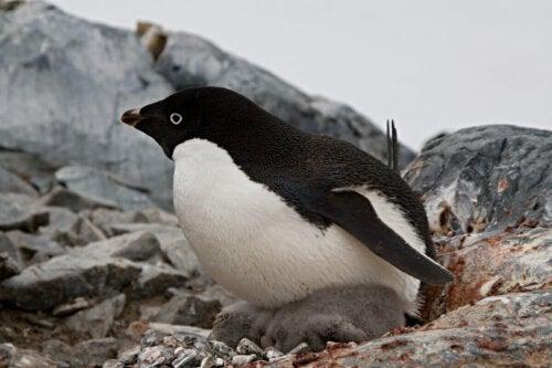Pingvin på rede med unger