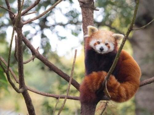 Rød panda i træ