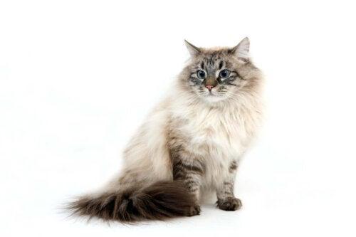 Sibirisk kat kan godt lide vand