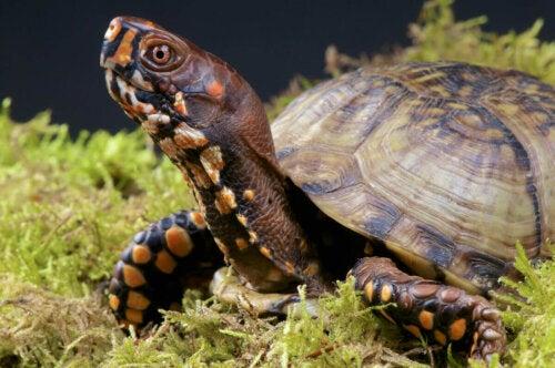 En skildpadde