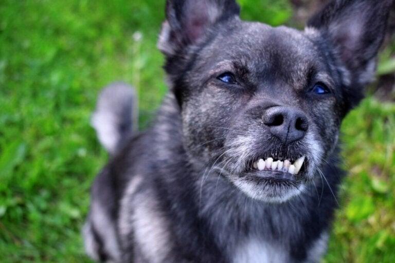 Tandfejl hos hunde: Årsager, konsekvenser og behandlinger