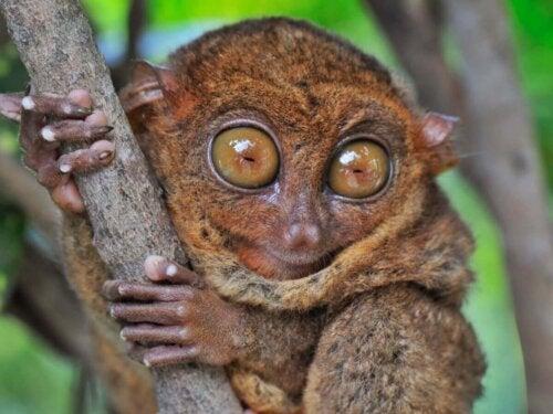 Spøgelsesaber er eksempel på dyr med store øjne