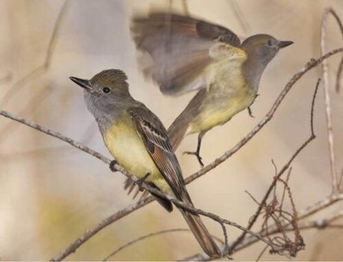 To fugle sidder sammen mellem grene