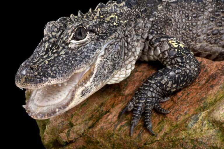 Kinesisk alligator: Levested og kendetegn